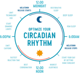 What is the Circadian Rhythms or life clock?